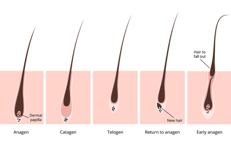 hair growth cycle illustration